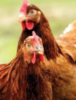 Laying Hen Nutrient Requirements, Welfare And Management Systems